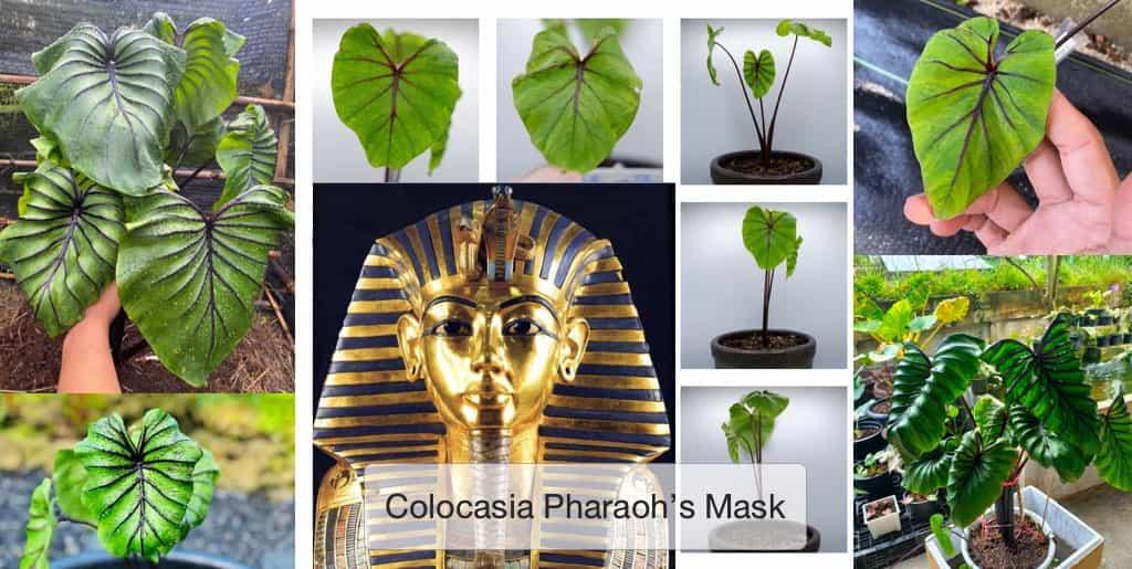 โคโลคาเซียหน้ากากฟาโรห์ (Colocasia Pharaoh's Mask)