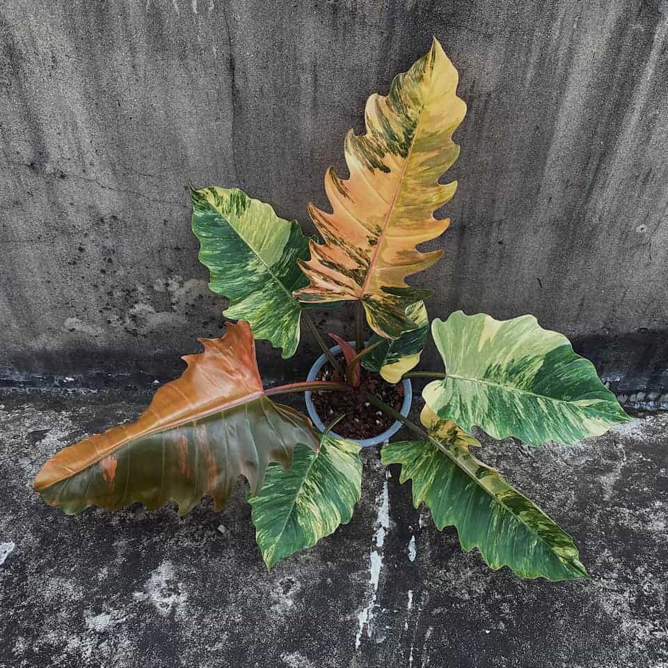 พิณนาคด่าง Philodendron Caramel Marble