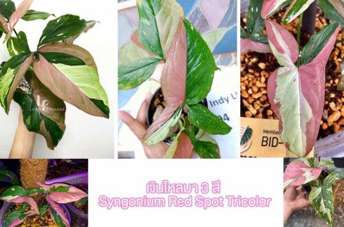 เงินไหลมา 3 สี (Syngonium Red Spot Tricolor)